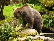 Βορειοαμερικανικός καφετής αντέχει, σταχτιά αρκούδα Στοκ Εικόνες