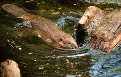 Βορειοαμερικανικό κολυμπώντας φράγμα άγριων ζώων Canadensis καστόρων καστόρων Στοκ Εικόνες
