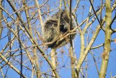 Βορειοαμερικανικό porcupine, ή dorsatum Erethizon Στοκ φωτογραφία με δικαίωμα ελεύθερης χρήσης