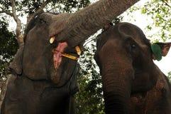 Βορράς-Λάος: Σίτιση ελεφάντων Στοκ φωτογραφία με δικαίωμα ελεύθερης χρήσης