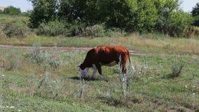 Βοσκή αγελάδων βοοειδών σε έναν τομέα Αγελάδα γάλακτος που τρώει τη χλόη Βοσκή αγροτικών βοοειδών στο λιβάδι Βιομηχανία γεωργίας απόθεμα βίντεο