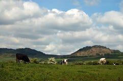 βοσκή αγελάδων επαρχίας Στοκ Φωτογραφίες