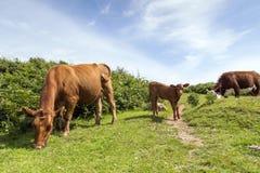 Βοσκή αγελάδων και μόσχων - ζωική οικογένεια Στοκ Εικόνες