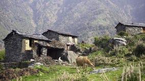 Βοσκή αγελάδων κοντά στα σπίτια φιλμ μικρού μήκους
