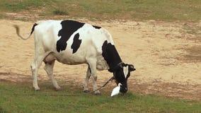 Βοσκή αγελάδων σε έναν τομέα με έναν τσικνιά βοοειδών φιλμ μικρού μήκους