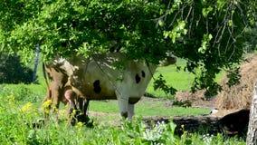 Βοσκή αγελάδων σε ένα λιβάδι ενάντια σε ένα πράσινους δάσος και έναν μπλε ουρανό φιλμ μικρού μήκους