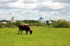 Βοσκή αγελάδων σε ένα λιβάδι σε ένα υπόβαθρο των εκκλησιών Σούζνταλ Rossiya στοκ εικόνες