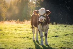 Βοσκή αγελάδων σε ένα λιβάδι στοκ εικόνες