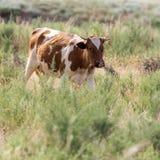Βοσκή αγελάδων σε ένα λιβάδι Στοκ εικόνες με δικαίωμα ελεύθερης χρήσης