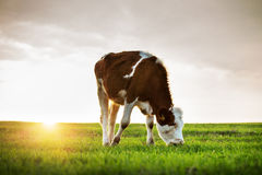 Βοσκή αγελάδων στα φρέσκα λιβάδια, ηλιοβασίλεμα Στοκ φωτογραφία με δικαίωμα ελεύθερης χρήσης