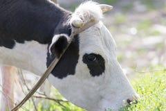 Βοσκή αγελάδων στη φύση Στοκ φωτογραφία με δικαίωμα ελεύθερης χρήσης
