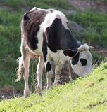 Βοσκή αγελάδων στη φύση Στοκ εικόνες με δικαίωμα ελεύθερης χρήσης