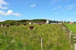 Βοσκή αγελάδων στο θερινό τομέα Στοκ φωτογραφία με δικαίωμα ελεύθερης χρήσης
