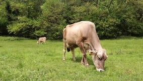 Βοσκή αγελάδων στο λιβάδι απόθεμα βίντεο
