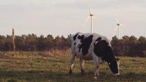 Βοσκή αγελάδων στο λιβάδι σε αργά το απόγευμα απόθεμα βίντεο