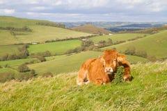 Βοσκή αγελάδων στο πεδίο του Dorset Στοκ φωτογραφία με δικαίωμα ελεύθερης χρήσης