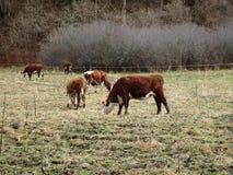 Βοσκή αγελάδων τον πρώιμο χειμώνα Στοκ φωτογραφία με δικαίωμα ελεύθερης χρήσης