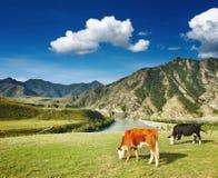 βοσκή αγελάδων Στοκ Εικόνα