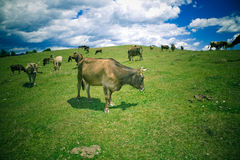 βοσκή αγελάδων Στοκ Εικόνες