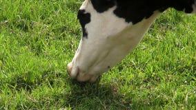 Βοσκή, αγελάδες, βοοειδή, ζώα αγροκτημάτων απόθεμα βίντεο