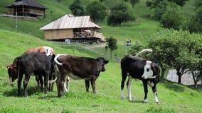 Βοσκή αγελάδων βοοειδών στον τομέα απόθεμα βίντεο
