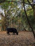 Βοσκή αγελάδων για τα βελανίδια Στοκ Φωτογραφίες