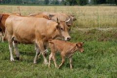 Βοσκή αγελάδων και μόσχων Στοκ φωτογραφία με δικαίωμα ελεύθερης χρήσης