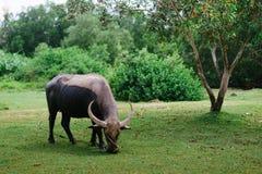 Βοσκή αγελάδων μια ηλιόλουστη ημέρα Στοκ φωτογραφία με δικαίωμα ελεύθερης χρήσης