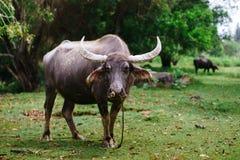 Βοσκή αγελάδων μια ηλιόλουστη ημέρα Στοκ φωτογραφίες με δικαίωμα ελεύθερης χρήσης
