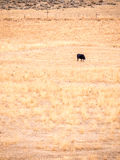 Βοσκή αγελάδων μόνο στο ξηρό λιβάδι, προσανατολισμός πορτρέτου Στοκ φωτογραφίες με δικαίωμα ελεύθερης χρήσης