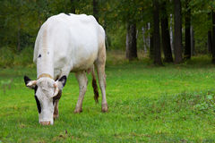 Βοσκή αγελάδων σε ένα λιβάδι Στοκ φωτογραφία με δικαίωμα ελεύθερης χρήσης