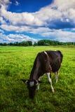 Βοσκή αγελάδων σε ένα πράσινο λιβάδι Στοκ εικόνες με δικαίωμα ελεύθερης χρήσης