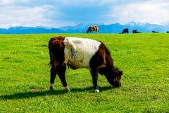 Βοσκή αγελάδων σε ένα όμορφο πράσινο λιβάδι, με τα χιονώδη βουνά στο υπόβαθρο Στοκ εικόνες με δικαίωμα ελεύθερης χρήσης