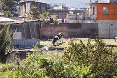 Βοσκή αγελάδων στην αγροτική Γουατεμάλα στοκ φωτογραφίες