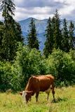 Βοσκή αγελάδων στη βουνοπλαγιά Στοκ Φωτογραφίες
