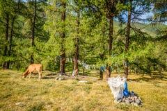 Βοσκή αγελάδων στο βουνό Στοκ φωτογραφίες με δικαίωμα ελεύθερης χρήσης