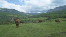 Βοσκή αγελάδων στο λιβάδι βουνών Στοκ Εικόνα