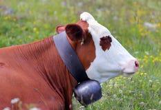 Βοσκή αγελάδων στο λιβάδι στα βουνά Στοκ Εικόνα