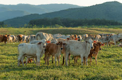 Βοσκή αγελάδων στο καλλιεργήσιμο έδαφος Στοκ φωτογραφία με δικαίωμα ελεύθερης χρήσης