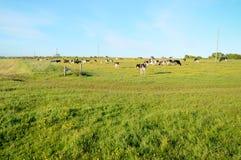 βοσκή αγελάδων Στοκ Φωτογραφίες