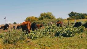 Βοσκή αγροτικών βοοειδών στο λιβάδι Βοσκή στον τομέα Αγελάδα γάλακτος που τρώει τη χλόη Η γαλακτοκομική αγελάδα τρώει τη χλόη φιλμ μικρού μήκους