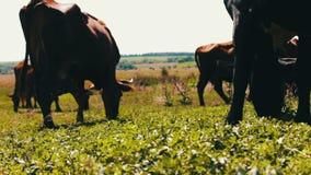 Βοσκή αγροτικών βοοειδών στο λιβάδι Βοσκή στον τομέα Αγελάδα γάλακτος που τρώει τη χλόη Η γαλακτοκομική αγελάδα τρώει τη χλόη απόθεμα βίντεο