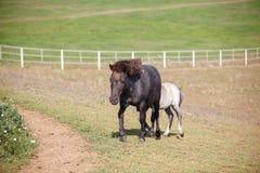 Βοσκή αλόγων στο fieldhorse που βόσκει στον τομέα στοκ εικόνες με δικαίωμα ελεύθερης χρήσης