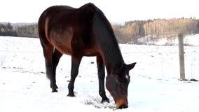 Βοσκή αλόγων στο χειμώνα απόθεμα βίντεο