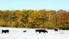 Βοσκή βοοειδών βόειου κρέατος αγελάδων του Angus στο λιβάδι χιονιού σε Μινεσότα την ηλιόλουστη ημέρα φθινοπώρου απόθεμα βίντεο