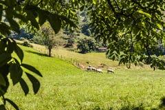 Βοσκή βοοειδών στα ατλαντικά Πυρηναία aquitaine Γαλλία στοκ εικόνες