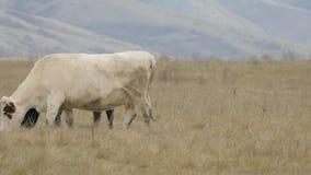 Βοσκή βοοειδών στους τομείς με τη χλόη απόθεμα βίντεο