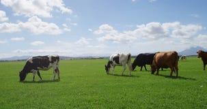 Βοσκή βοοειδών στο αγρόκτημα 4k απόθεμα βίντεο