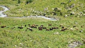 Βοσκή βοοειδών στο λιβάδι βουνών, ρεύμα που ρέει μεταξύ των βράχων φιλμ μικρού μήκους