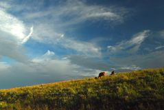 βοσκή βοοειδών Στοκ Φωτογραφίες